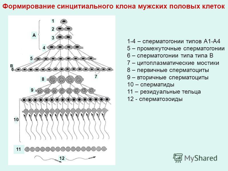 А В 1 2 3 4 5 6 7 8 9 10 11 12 1-4 – сперматогонии типов А1-А4 5 – промежуточные сперматогонии 6 – сперматогонии типа типа В 7 – цитоплазматические мостики 8 – первичные сперматоциты 9 – вторичные сперматоциты 10 – сперматиды 11 – резидуальные тельца