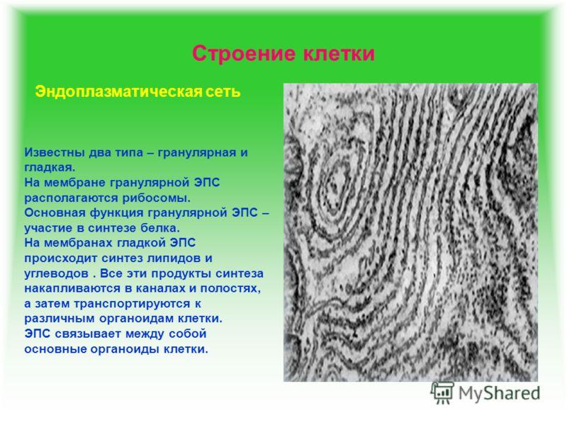 Строение клетки Эндоплазматическая сеть Известны два типа – гранулярная и гладкая. На мембране гранулярной ЭПС располагаются рибосомы. Основная функция гранулярной ЭПС – участие в синтезе белка. На мембранах гладкой ЭПС происходит синтез липидов и уг