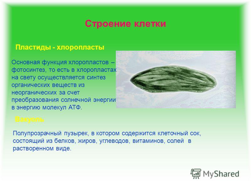 Строение клетки Пластиды - хлоропласты Основная функция хлоропластов – фотосинтез, то есть в хлоропластах на свету осуществляется синтез органических веществ из неорганических за счет преобразования солнечной энергии в энергию молекул АТФ. Вакуоль По