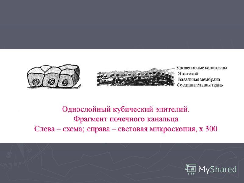 Кровеносные капилляры Эпителий Базальная мембрана Соединительная ткань Однослойный кубический эпителий. Фрагмент почечного канальца Слева – схема; справа – световая микроскопия, х 300