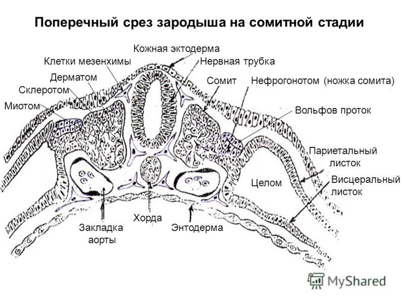 Поперечный срез зародыша на сомитной стадии Кожная эктодерма Нервная трубка СомитНефрогонотом (ножка сомита) Париетальный листок Висцеральный листок Энтодерма Хорда Закладка аорты Клетки мезенхимы Целом Дерматом Миотом Вольфов проток Склеротом