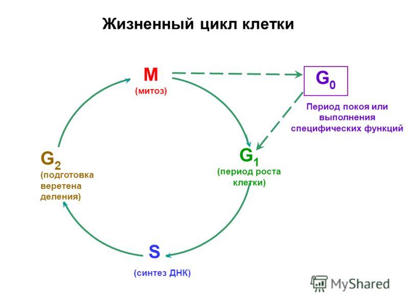 Период покоя или выполнения специфических функций G 1 (период роста клетки) G 2 (подготовка веретена деления) S М (митоз) G0G0 (синтез ДНК) Жизненный цикл клетки