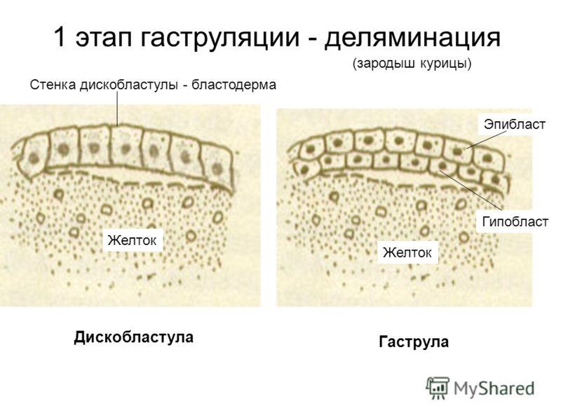 1 этап гаструляции - деляминация Дискобластула Гаструла Стенка дискобластулы - бластодерма Желток Эпибласт Гипобласт (зародыш курицы)