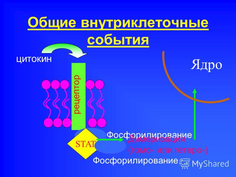 Общие внутриклеточные события рецептор киназа цитокин Фосфорилирование STAT киназа Фосфорилирование Димеризация (гомо- или гетеро-) Ядро