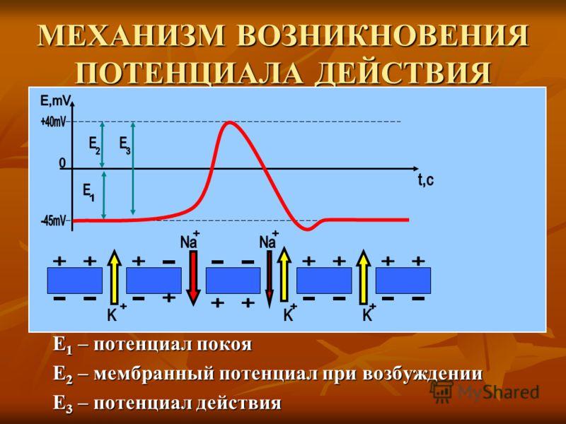 МЕХАНИЗМ ВОЗНИКНОВЕНИЯ ПОТЕНЦИАЛА ДЕЙСТВИЯ Е 1 – потенциал покоя Е 2 – мембранный потенциал при возбуждении Е 3 – потенциал действия