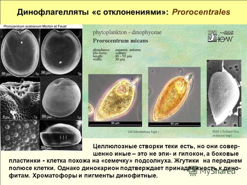 Динофлагелляты «с отклонениями»: Prorocentrales пластинки - клетка похожа на «семечку» подсолнуха. Жгутики на переднем полюсе клетки. Однако динокарион подтверждает принадлежность к дино- фитам. Хроматофоры и пигменты динофитные. Целлюлозные створки