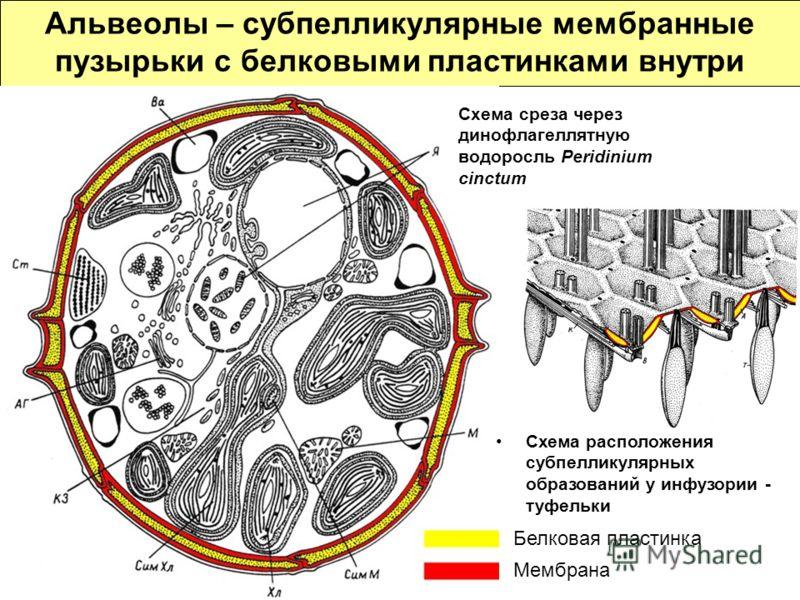 Альвеолы – субпелликулярные мембранные пузырьки с белковыми пластинками внутри Белковая пластинка Мембрана Схема среза через динофлагеллятную водоросль Peridinium cinctum Схема расположения субпелликулярных образований у инфузории - туфельки