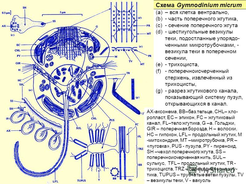 Схема Gymnodinium micrum (a)– вся клетка вентрально, (b)- часть поперечного жгутика, (c)- сечение поперечного жгута (d)- шестиугольные везикулы теки, подостланные упорядо- ченными микротрубочками, - везикула теки в поперечном сечении, (e)- трихоциста