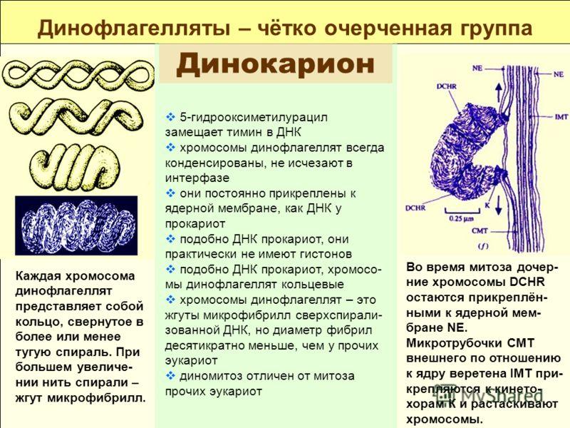 Динофлагелляты – чётко очерченная группа Динокарион 5-гидрооксиметилурацил замещает тимин в ДНК хромосомы динофлагеллят всегда конденсированы, не исчезают в интерфазе они постоянно прикреплены к ядерной мембране, как ДНК у прокариот подобно ДНК прока