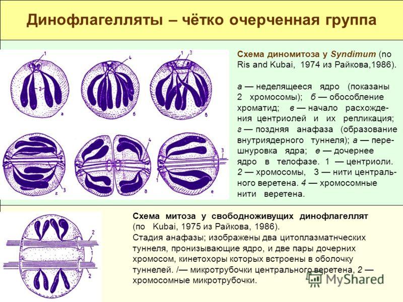 группа Схема диномитоза у