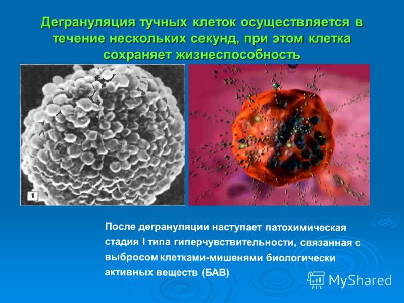 Дегрануляция тучных клеток осуществляется в течение нескольких секунд, при этом клетка сохраняет жизнеспособность После дегрануляции наступает патохимическая стадия I типа гиперчувствительности, связанная с выбросом клетками-мишенями биологически акт