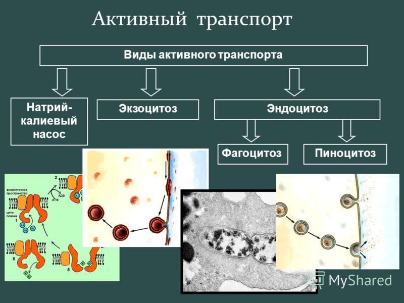 Активный транспорт Виды активного транспорта Натрий- калиевый насос ЭкзоцитозЭндоцитоз ФагоцитозПиноцитоз