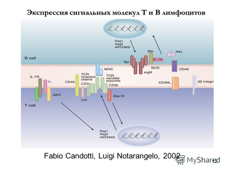 12 Fabio Candotti, Luigi Notarangelo, 2002 Экспрессия сигнальных молекул Т и В лимфоцитов