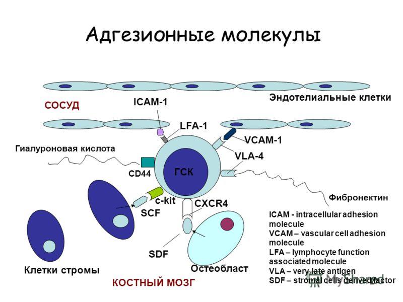 27 Адгезионные молекулы c-kit Клетки стромы Эндотелиальные клетки ГСК Гиалуроновая кислота CD44 Фибронектин VLA-4 VCAM-1 LFA-1 ICAM-1 ICAM - intracellular adhesion molecule VCAM – vascular cell adhesion molecule LFA – lymphocyte function associated m
