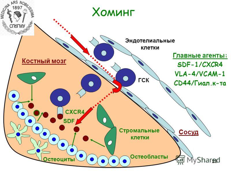 28 Хоминг Костный мозг Сосуд Остеобласты SDF Остеоциты Стромальные клетки Эндотелиальные клетки ГСК CXCR4 Главные агенты : SDF-1/CXCR4 VLA-4/VCAM-1 CD44/Гиал.к-та