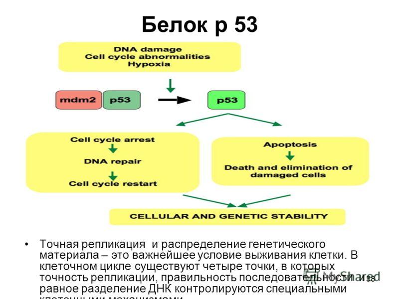 38 Белок р 53 Точная репликация и распределение генетического материала – это важнейшее условие выживания клетки. В клеточном цикле существуют четыре точки, в которых точность репликации, правильность последовательности и равное разделение ДНК контро
