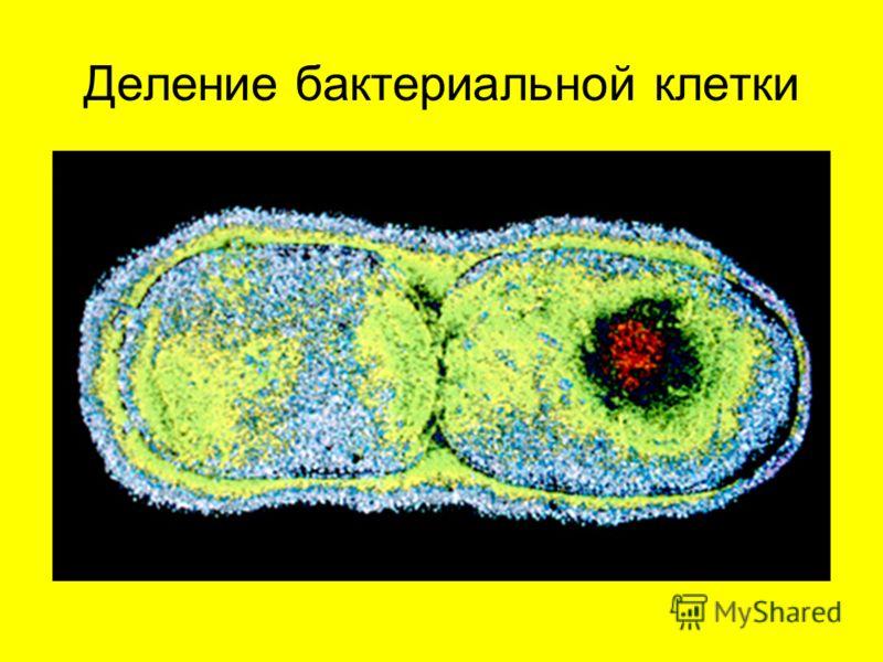 Деление бактериальной клетки