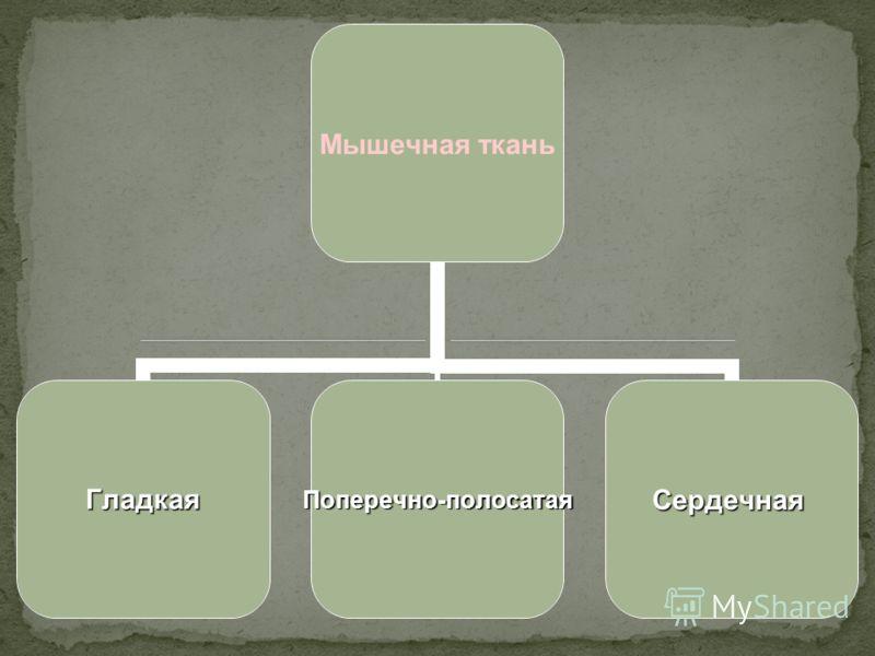Мышечная ткань ГладкаяПоперечно-полосатаяСердечная