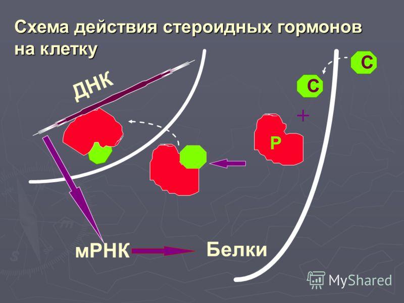 C Р + мРНК Белки C ДНК Схема действия стероидных гормонов на клетку
