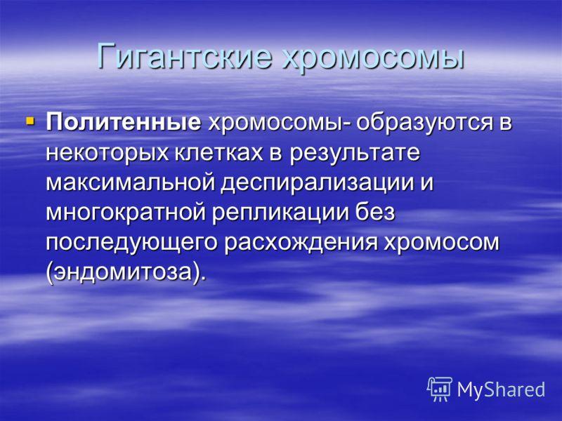 Гигантские хромосомы Политенные хромосомы- образуются в некоторых клетках в результате максимальной деспирализации и многократной репликации без последующего расхождения хромосом (эндомитоза). Политенные хромосомы- образуются в некоторых клетках в ре