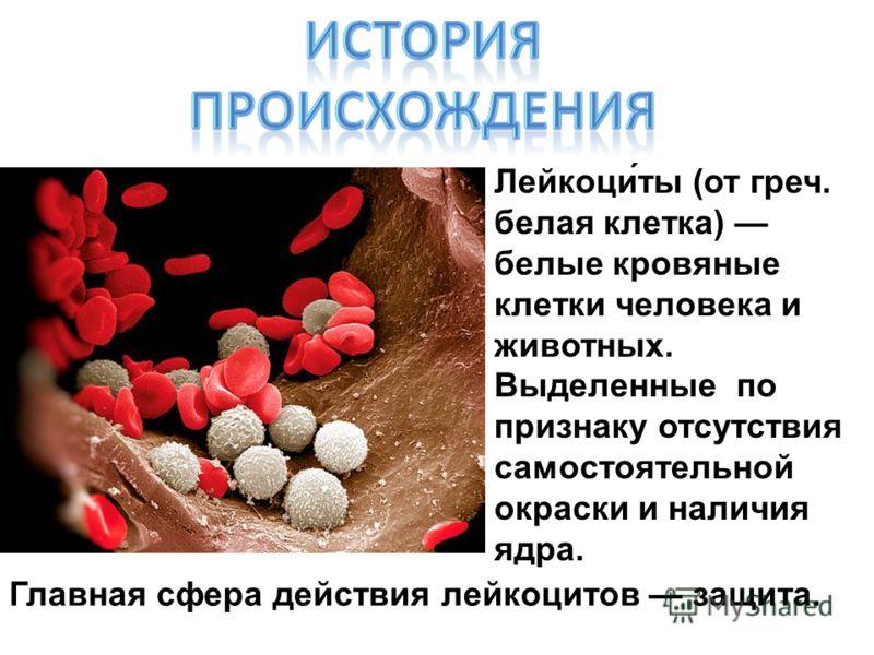 Лейкоци́ты (от греч. белая клетка) белые кровяные клетки человека и животных. Выделенные по признаку отсутствия самостоятельной окраски и наличия ядра. Главная сфера действия лейкоцитов защита.
