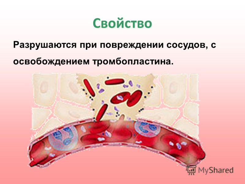 Свойство Разрушаются при повреждении сосудов, с освобождением тромбопластина.