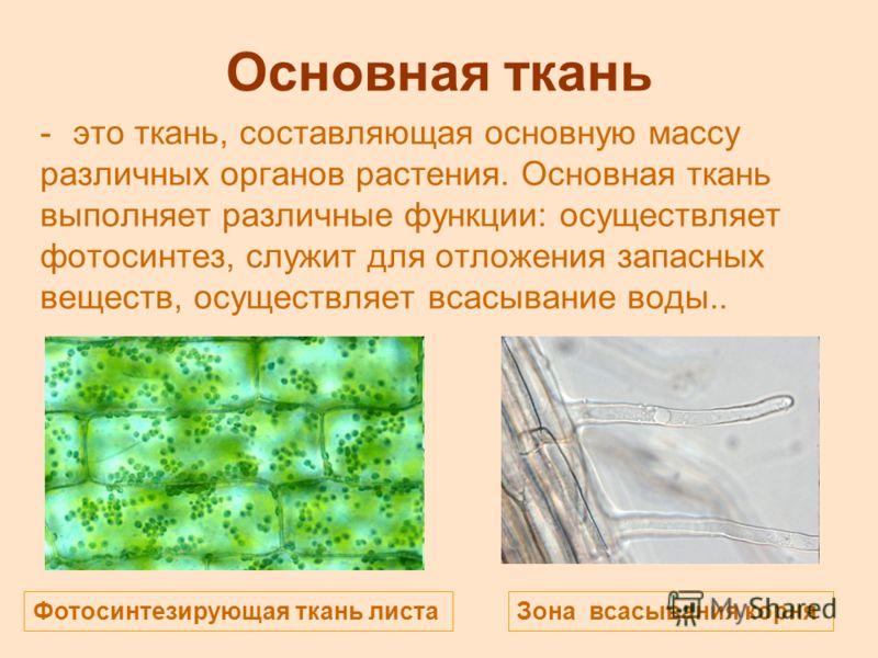 Основная ткань -это ткань, составляющая основную массу различных органов растения. Основная ткань выполняет различные функции: осуществляет фотосинтез, служит для отложения запасных веществ, осуществляет всасывание воды.. Фотосинтезирующая ткань лист