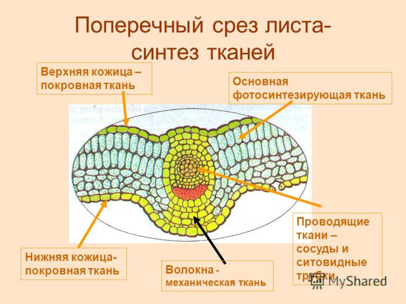 Поперечный срез листа- синтез тканей Верхняя кожица – покровная ткань Основная фотосинтезирующая ткань Проводящие ткани – сосуды и ситовидные трубки Волокна - механическая ткань Нижняя кожица- покровная ткань