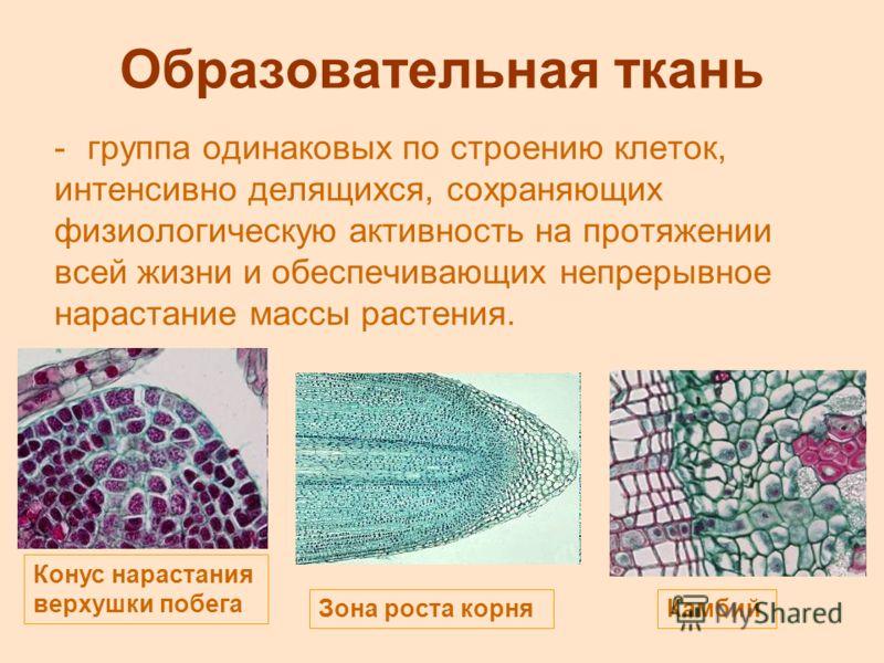 Образовательная ткань -группа одинаковых по строению клеток, интенсивно делящихся, сохраняющих физиологическую активность на протяжении всей жизни и обеспечивающих непрерывное нарастание массы растения. Конус нарастания верхушки побега Зона роста кор