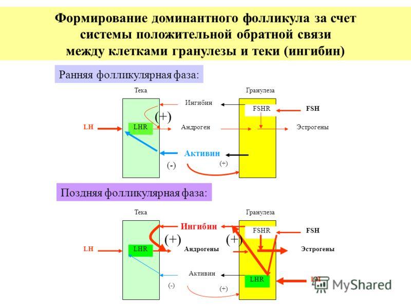 ТекаГранулеза LHLHRАндрогенЭстрогены FSHRFSH Активин (-) (+) Ингибин ТекаГранулеза LHLHRАндрогеныЭстрогены FSHRFSH Активин (-) (+) Ингибин LHLHR Ранняя фолликулярная фаза: Поздняя фолликулярная фаза: Формирование доминантного фолликула за счет систем
