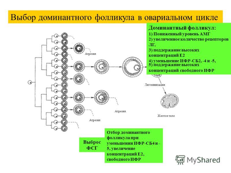 Атрезия Желтое тело Лютеинизация Выбор доминантного фолликула в овариальном цикле Выброс ФСГ Отбор доминантного фолликула при уменьшении ИФР-СБ4 и - 5, увеличение концентраций E2, свободного ИФР Доминантный фолликул: 1) Пониженный уровень АМГ 2) увел