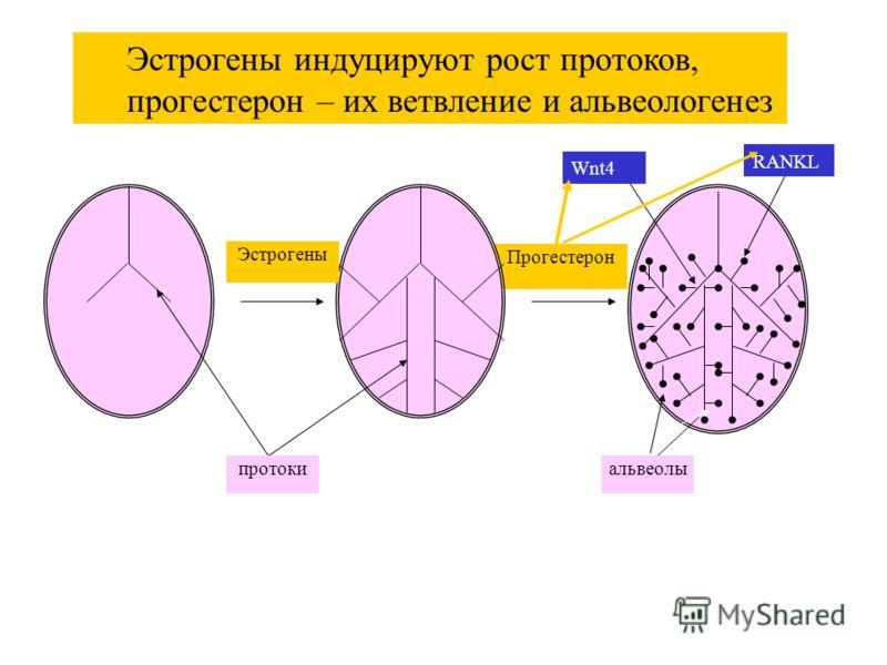 Прогестерон Эстрогены протокиальвеолы Эстрогены индуцируют рост протоков, прогестерон – их ветвление и альвеологенез RANKL Wnt4