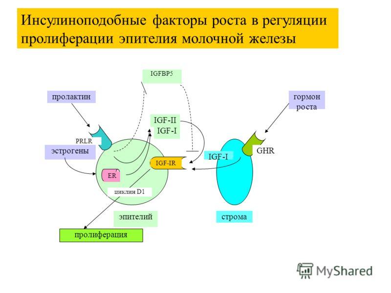 гормон роста эпителийстрома IGF-I пролиферация пролактин IGF-II IGF-IR эстрогены ER IGF-I IGFBP5 GHR PRLR циклин D1 Инсулиноподобные факторы роста в регуляции пролиферации эпителия молочной железы