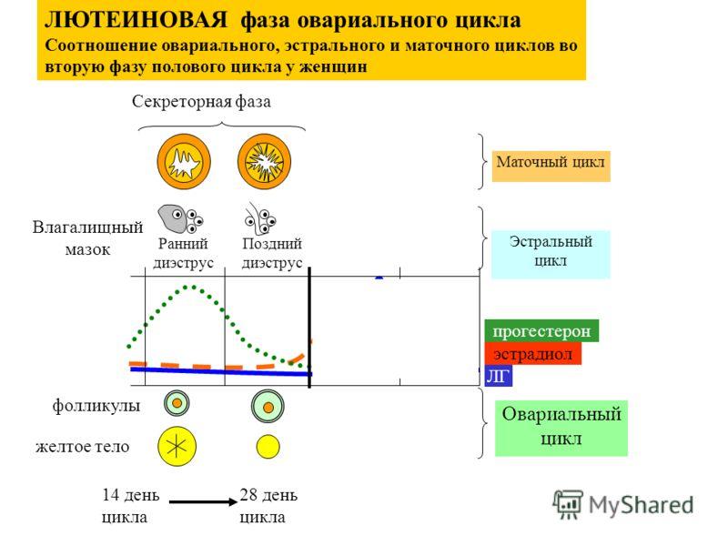 фолликулы желтое тело Ранний диэструс Поздний диэструс Секреторная фаза Влагалищный мазок ЛЮТЕИНОВАЯ фаза овариального цикла Соотношение овариального, эстрального и маточного циклов во вторую фазу полового цикла у женщин 28 день цикла 14 день цикла М