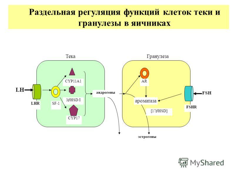 ГранулезаТека LH LHRSF-1 CYP17 CYP11A1 3 HSD/I андрогены AR ароматаза FSHR FSH [17 HSD] эстрогены Раздельная регуляция функций клеток теки и гранулезы в яичниках
