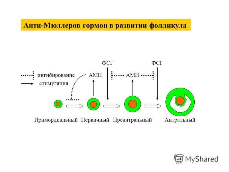 ПримордиальныйПервичныйПреантральныйАнтральный AMH ФСГ ингибирование стимуляция Анти-Мюллеров гормон в развитии фолликула