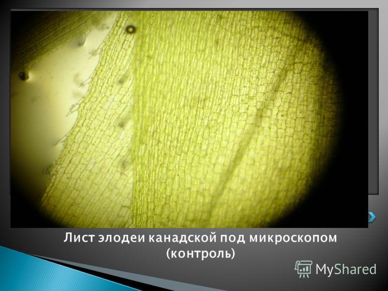 Лист элодеи канадской под микроскопом (контроль)
