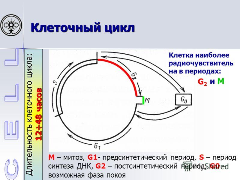 Клеточный цикл Длительность клеточного цикла: 12÷48 часов М – митоз, G1- предсинтетический период, S – период синтеза ДНК, G2 – постсинтетический период, G0 – возможная фаза покоя Клетка наиболее радиочувствитель на в периодах: G2G2 и M