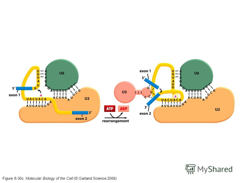 Figure 6-30c Molecular Biology of the Cell (© Garland Science 2008)