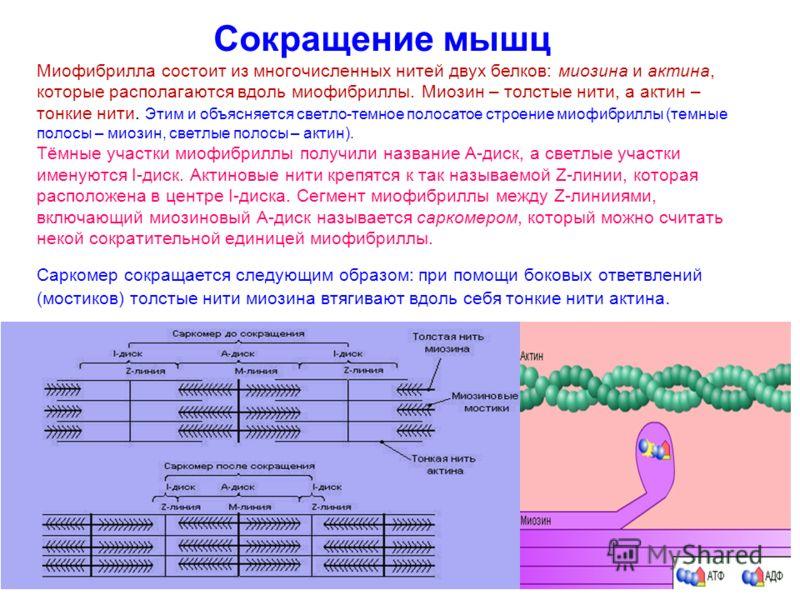 Сокращение мышц Миофибрилла состоит из многочисленных нитей двух белков: миозина и актина, которые располагаются вдоль миофибриллы. Миозин – толстые нити, а актин – тонкие нити. Этим и объясняется светло-темное полосатое строение миофибриллы (темные