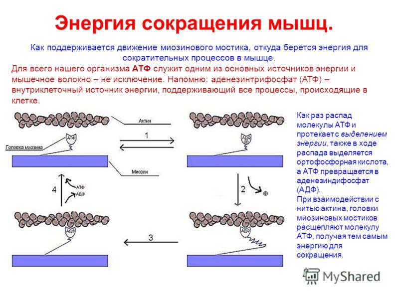 Энергия сокращения мышц. Как поддерживается движение миозинового мостика, откуда берется энергия для сократительных процессов в мышце. Для всего нашего организма АТФ служит одним из основных источников энергии и мышечное волокно – не исключение. Напо
