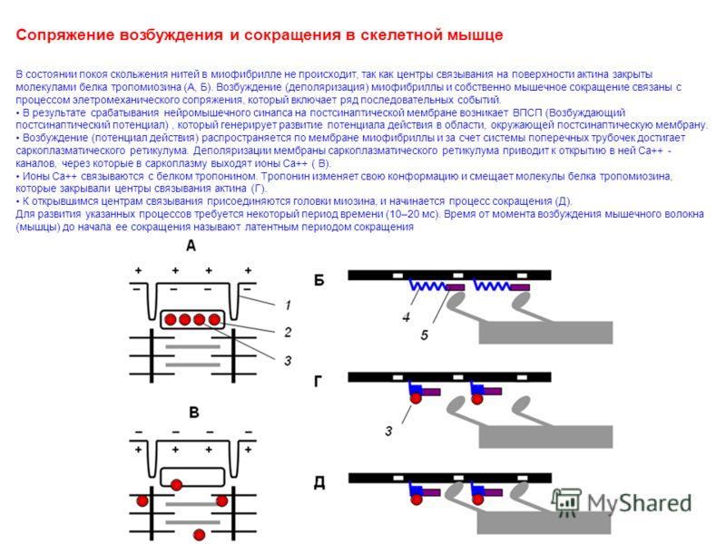 Сопряжение возбуждения и сокращения в скелетной мышце В состоянии покоя скольжения нитей в миофибрилле не происходит, так как центры связывания на поверхности актина закрыты молекулами белка тропомиозина (А, Б). Возбуждение (деполяризация) миофибрилл