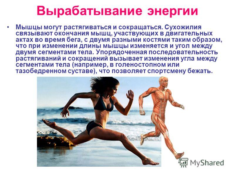 Вырабатывание энергии Мышцы могут растягиваться и сокращаться. Сухожилия связывают окончания мышц, участвующих в двигательных актах во время бега, с двумя разными костями таким образом, что при изменении длины мышцы изменяется и угол между двумя сегм