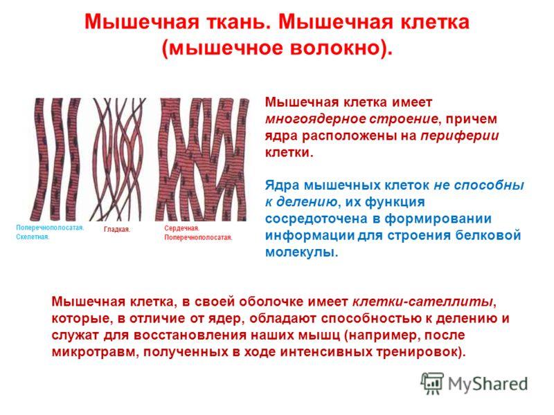 Мышечная ткань. Мышечная клетка (мышечное волокно). Мышечная клетка имеет многоядерное строение, причем ядра расположены на периферии клетки. Ядра мышечных клеток не способны к делению, их функция сосредоточена в формировании информации для строения