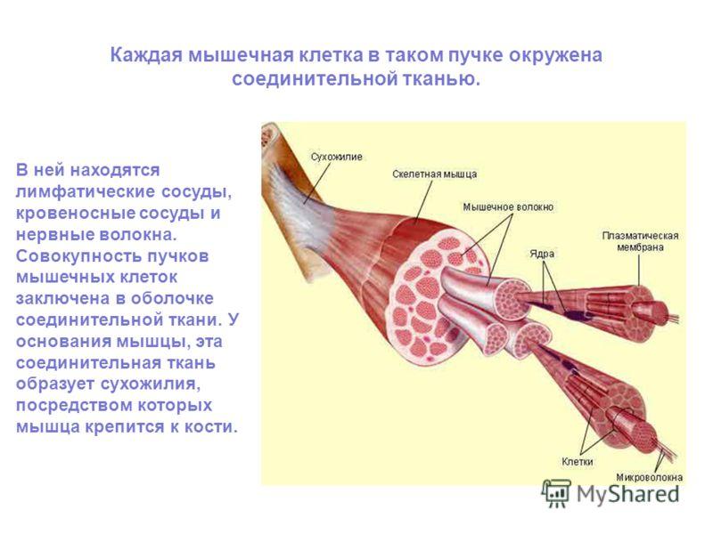 Каждая мышечная клетка в таком пучке окружена соединительной тканью. В ней находятся лимфатические сосуды, кровеносные сосуды и нервные волокна. Совокупность пучков мышечных клеток заключена в оболочке соединительной ткани. У основания мышцы, эта сое