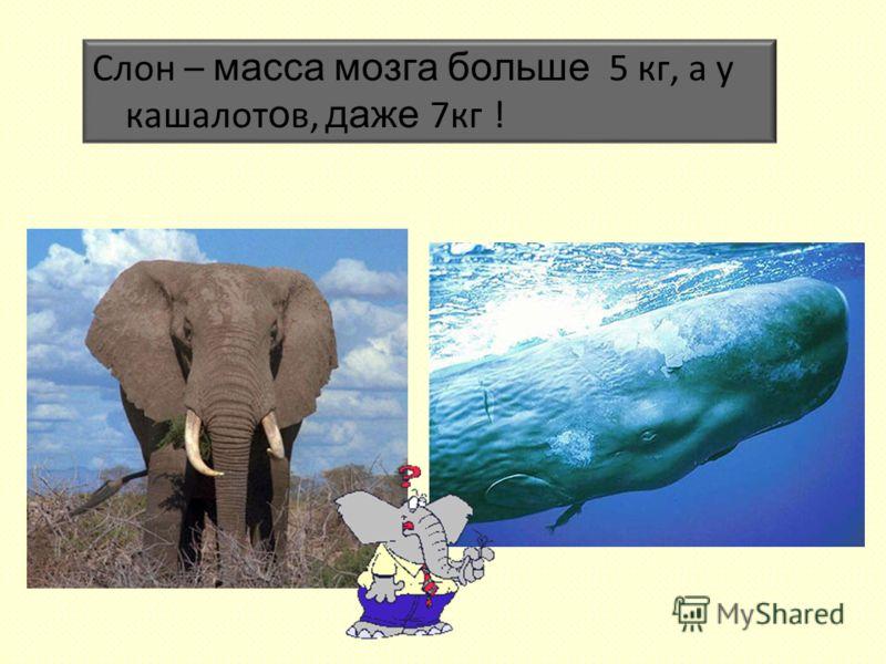 Слон – масса мозга больше 5 кг, а у кашалот о в, даже 7кг !