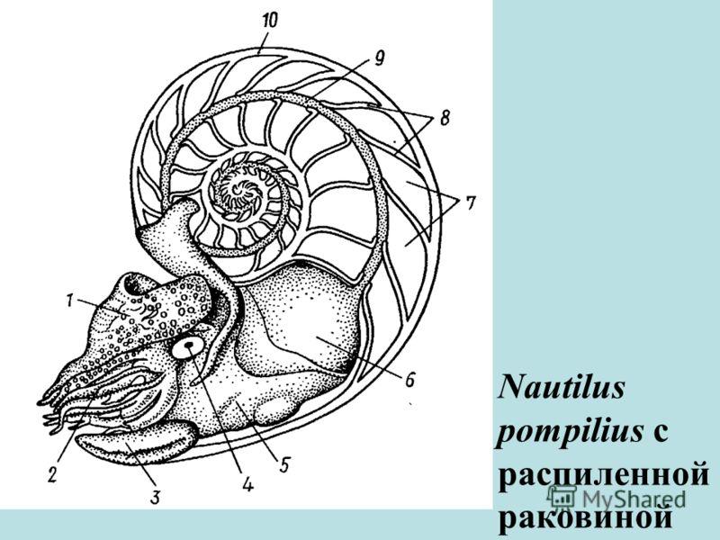 Nautilus pompilius с распиленной раковиной