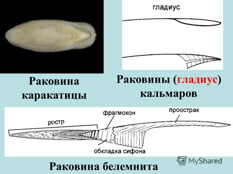 Раковина каракатицы Раковины (гладиус) кальмаров Раковина белемнита