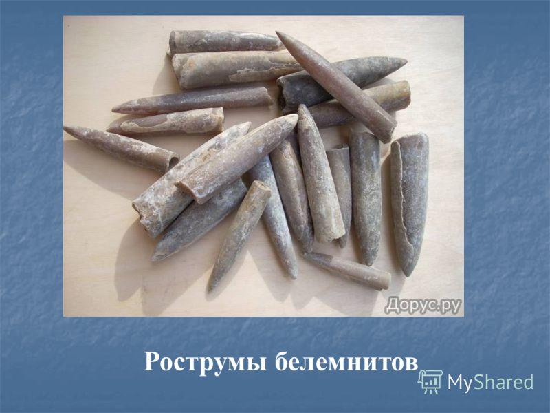 Рострумы белемнитов