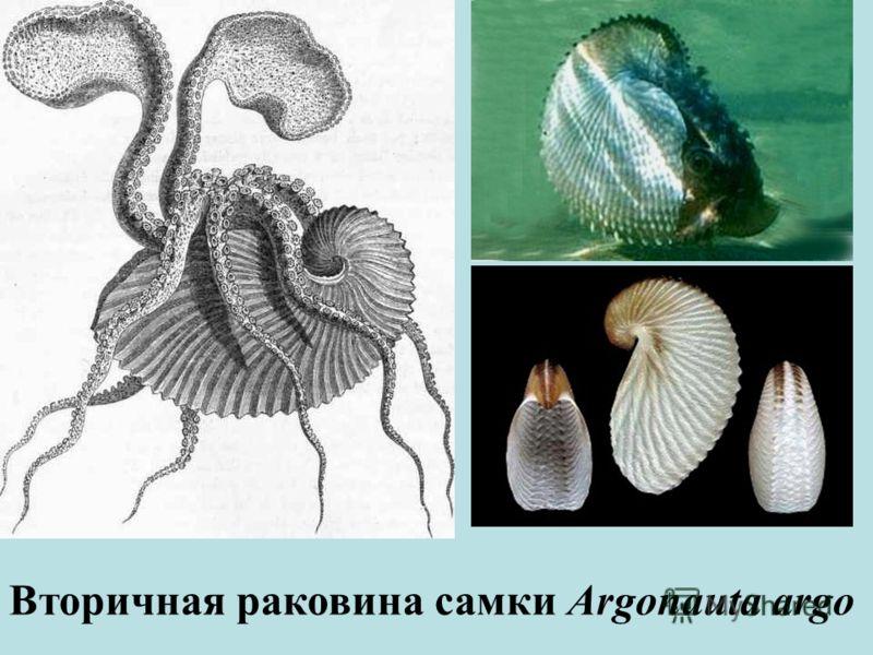 Вторичная раковина самки Argonauta argo